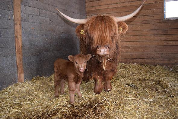 skotský náhorní skot zoo park Vyškov