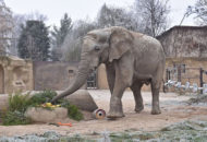 slon africký Kito