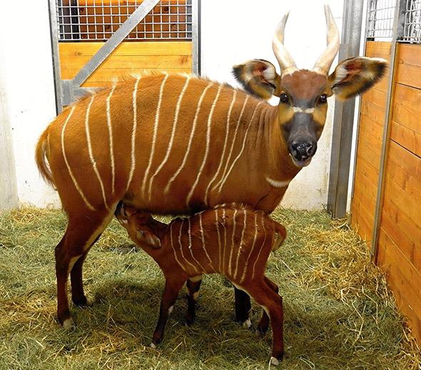 antilopa bongo zoo Praha