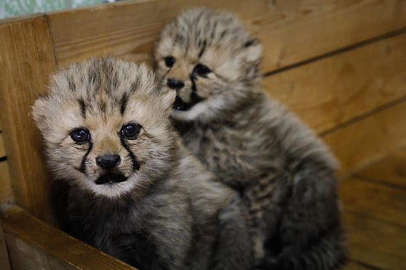 gepardí mláďata zoo Dvůr Králové