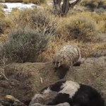 VIDEO: Jezevec během pěti dnů ukryl pod zem celé tele