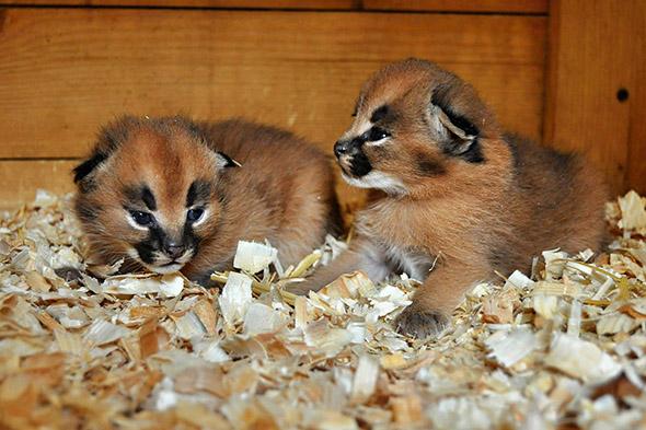 mláďata karakalů Zoopark Zájezd
