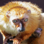 Novinky v zoo: mládě vzácného lemura