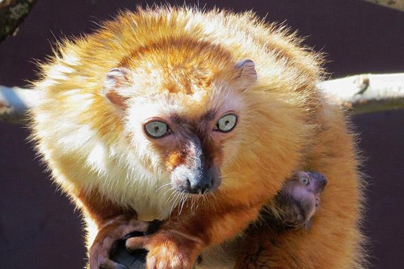 lemur Sclaterův zoo ostrava