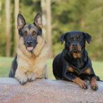 Rozeznejte dle tvaru jednotlivé typy psích uší