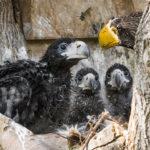 Novinky v zoo: orlí trojčata či mláďata geparda