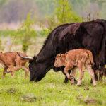 V milovické rezervaci se narodila dvě mláďata praturů