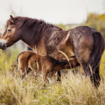 V Milovicích uhynula Sgurr, nejstatečnější klisna stáda