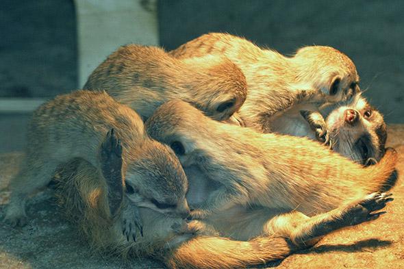 mláďata surikat zoo Ústí