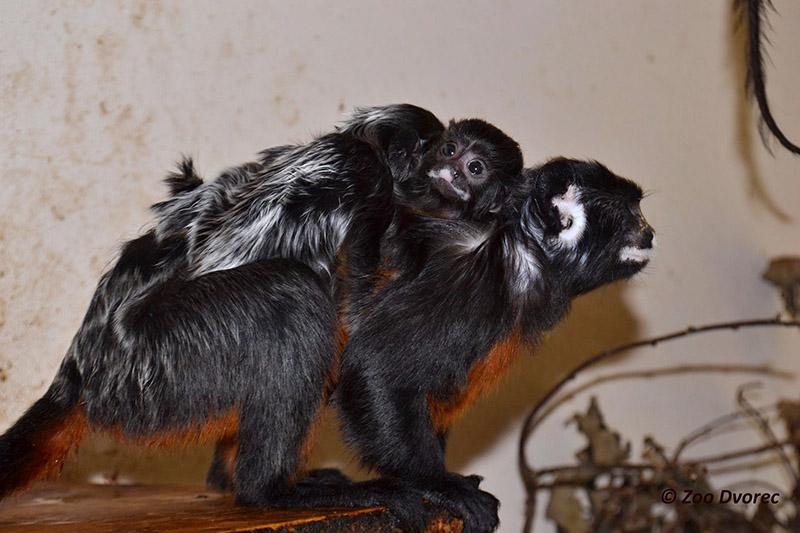 tamarín bělohubý zoo Dvorec