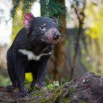 Tasmánský čert se začíná objevovat v evropských zoo