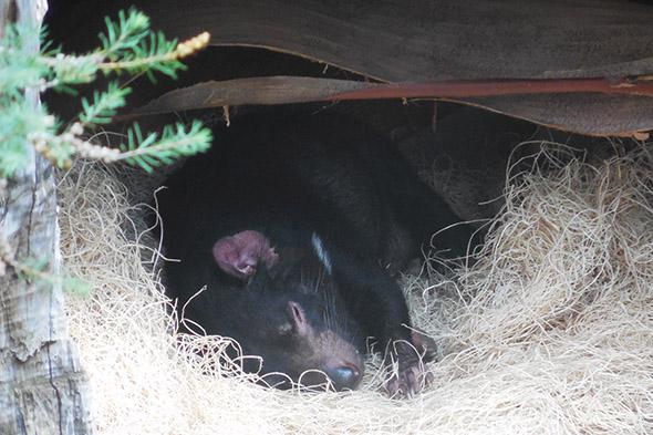 tasmánský čert San Diego