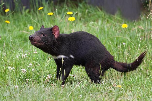 tasmánský čert v Austrálii
