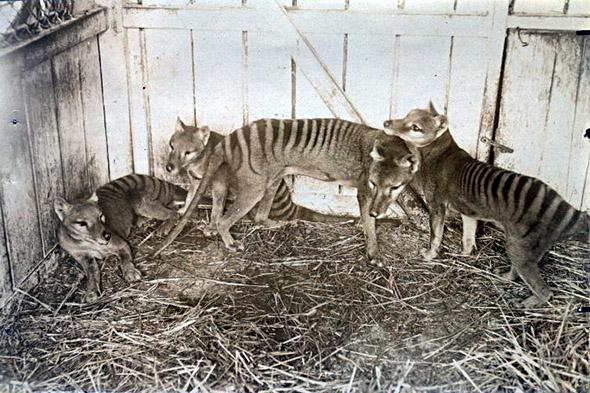 vakovlci v zoo