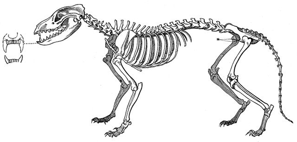 kostra vakovlka
