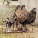 Novinky v zoo: velbloudi, lemuři nebo tamaríni