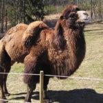 Do Zoo Tábor přicestoval velbloud Jep