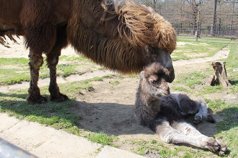 velbloudí mládě Hodonín
