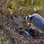 FOTO: V pražské zoo hnízdí volavky