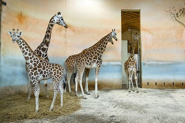 žirafy severní núbijské zoo praha