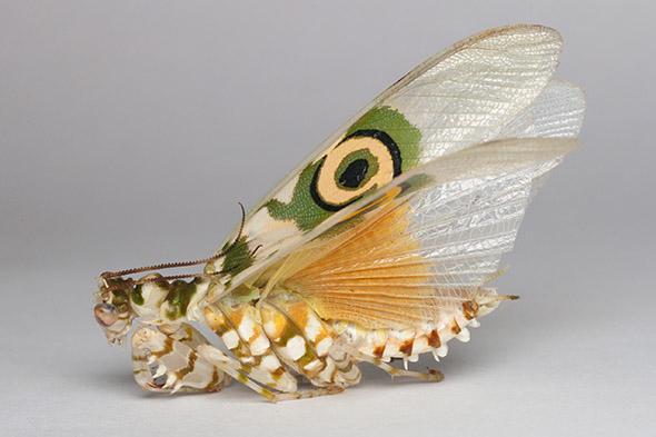 kudlanka Pseudocreobotra wahlbergii