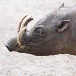 Zvířata, která neznáte: babirusa