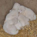 Pět mláďat vzácného bílého lva se narodilo ve Dvorci