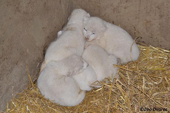 mláďata bílých lvů