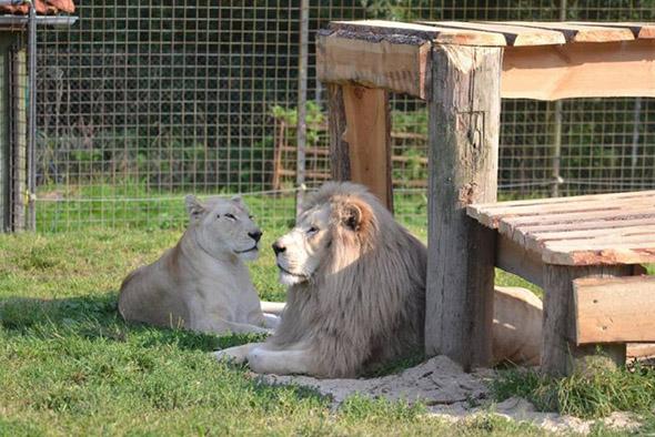 bílí lvi