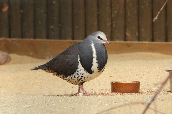 holub wonga zoo Hluboká