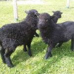 ovce ouessantská jehňata