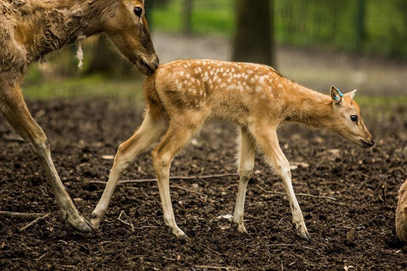 jelen milu zoo Ostrava