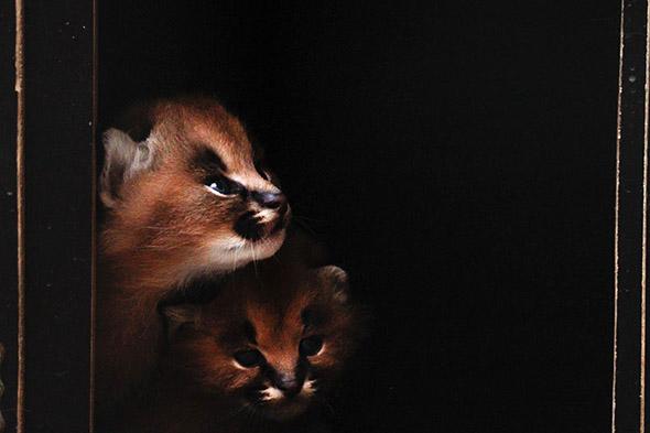 karakal mláďata zoo Dvůr
