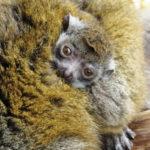 Novinky v zoo: lemur, zebu či lachtan