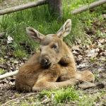 losí mládě zoopark Chomutov