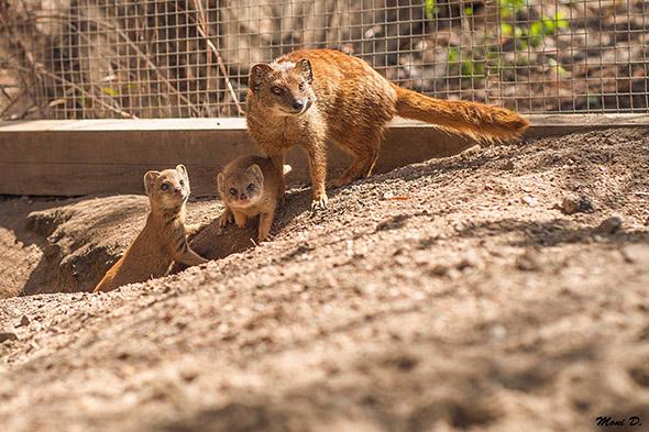 mangusta liščí zoo Dvůr Králové