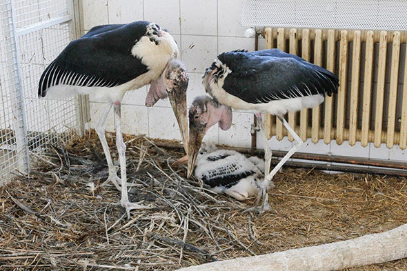 marabu africký zoo Dvůr