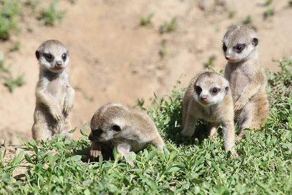 mláďata surikat