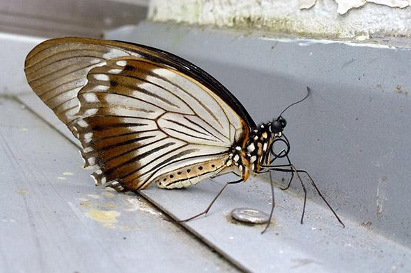 motýl ve skleníku Fata Morgana