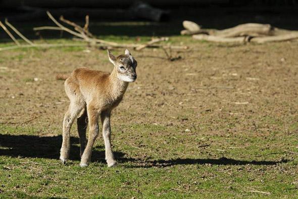 muflon zoo Hluboká