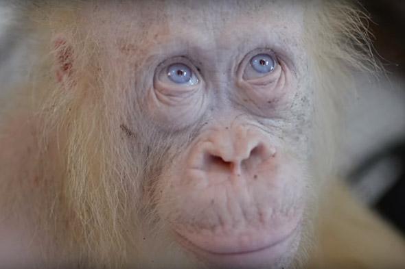 orangutaní albín