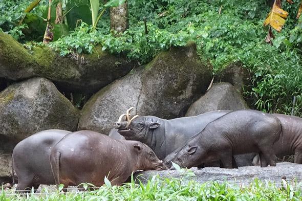 skupina babirus