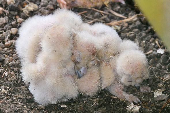 mláďata výra velkého zoo Děčín