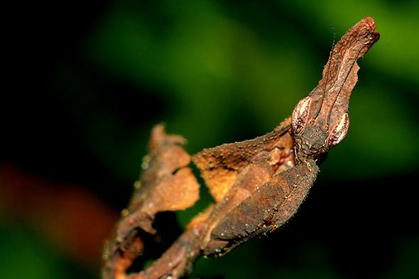 kudlanka Phyllocrania Paradoxa