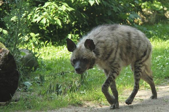 hyena žíhaná zoo Dvůr Králové