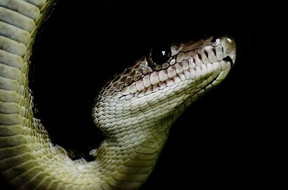 kubánský had