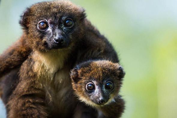 lemur červenobřichý zoo Ostrava