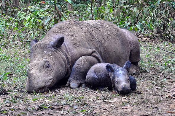 nosorožci sumaterští