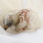 Novinky v zoo: orel nejmenší, urial nebo zoborožci