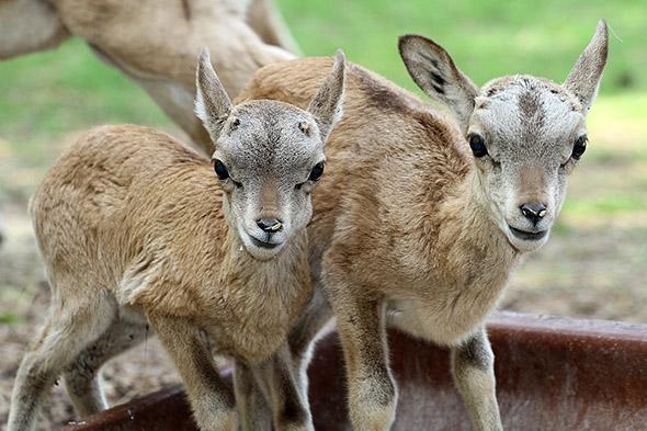 mláďata ovce stepní zoopark Chomutov